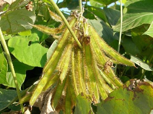クズ 秋 茶褐色に熟す豆果 扁平