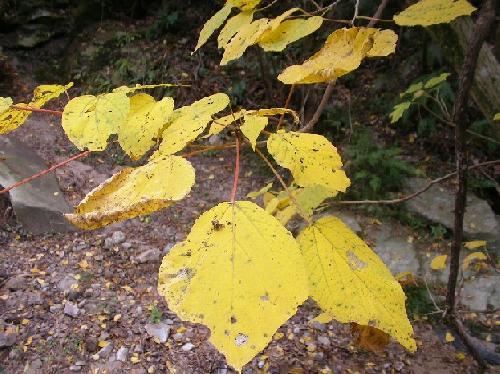 アカメガシワ 秋 黄色に紅葉 広楕円形 互生 浅裂