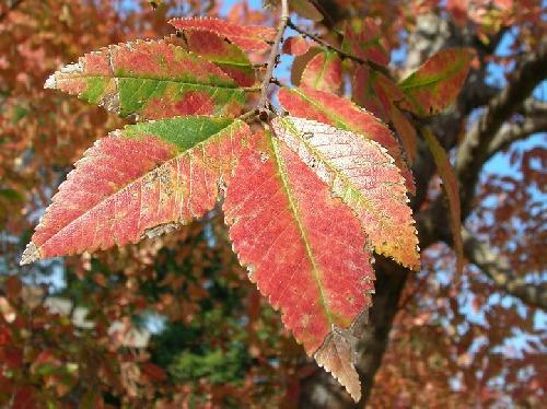 アキニレ 卵形で鋸歯のある葉 互生 秋赤く紅葉