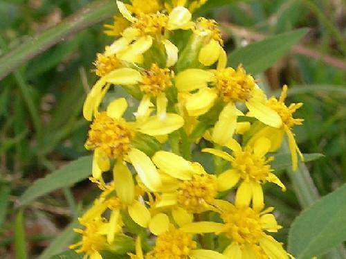 アキノキリンソウ 秋 小さな黄色い花