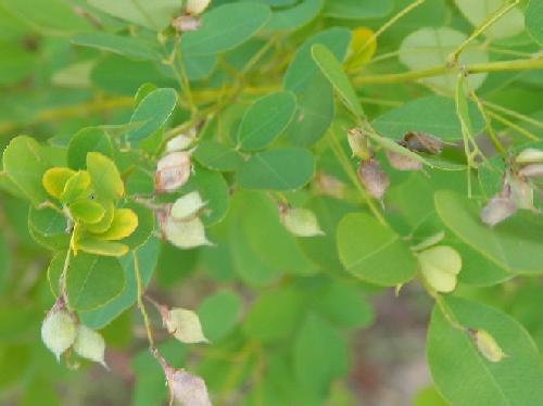 マルバハギ 秋初冬茶色の豆果 種子が1個ずつ入っている