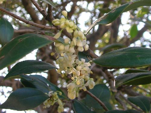 ヒイラギ 初冬 小さな白い花