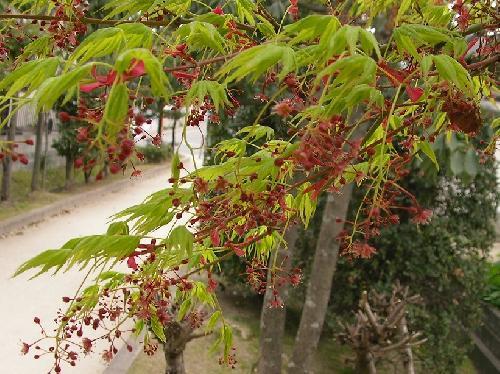 イロハカエデ 春 極小さな赤い花