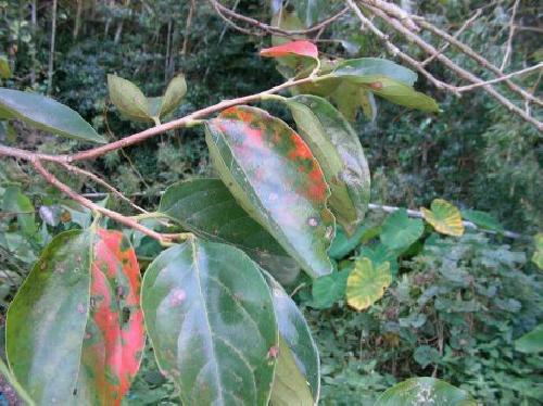 カキノキ 秋 赤く紅葉 楕円卵形 互生
