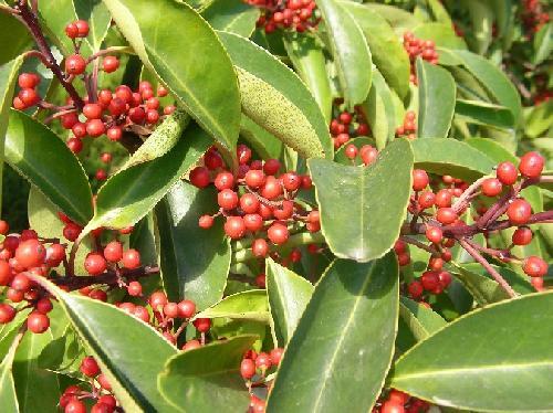 クロガネモチ 秋 球形の赤い実