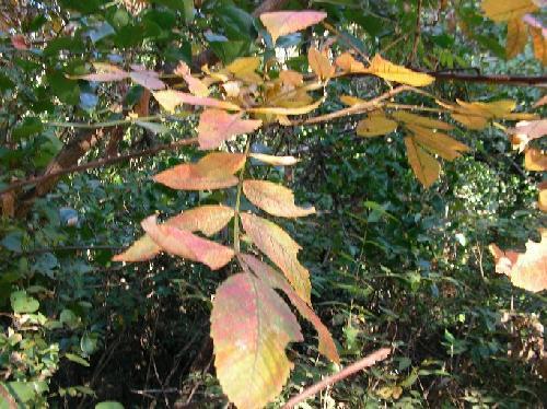 ヌルデ 秋 黄橙色に紅葉