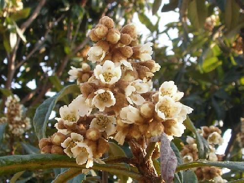 ビワ 冬 白い花