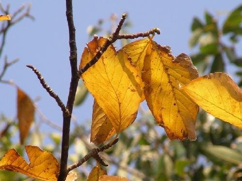 コブシ 秋 黄色に紅葉