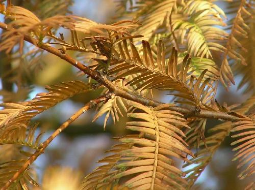 メタセコイヤ 秋 黄褐色に紅葉