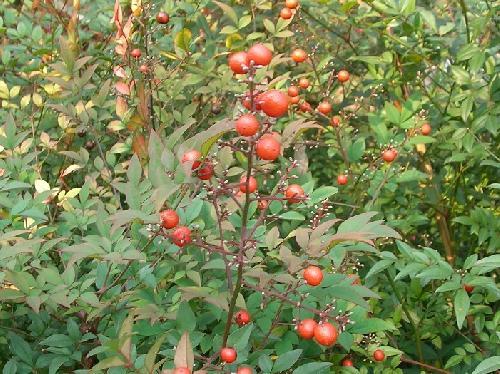 ナンテン 秋 球形の実は赤く熟す