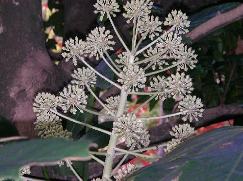 ヤツデ 初冬 小さな白い花