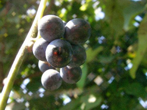 アオツヅラフジ 秋 白粉をふいた丸くて青黒い実 房状につける