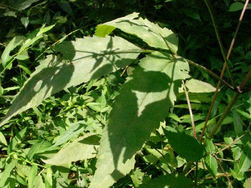 アメリカセンダングサ 3出複葉 倒卵形 鋸歯