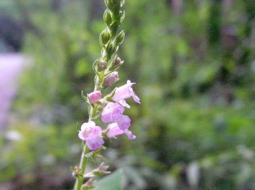 イヌコウジュ 秋 極小さな紫色の花