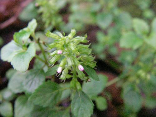 イヌトウバナ 夏~秋 薄紫色の極小さい花