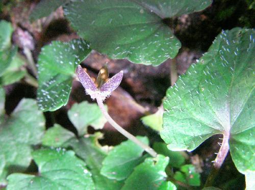 コミヤマスミレ 秋 極小さい球形で茶褐色の種子
