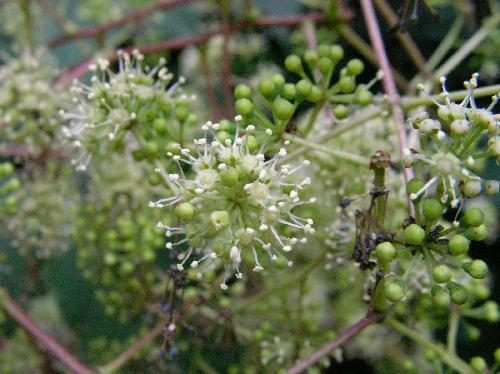 コシアブラ 晩夏~初秋 小さな白い花