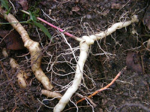 ナルコユリ 地下茎