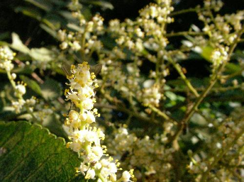 ヌルデ 夏 極小さな白い花