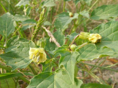 ヒロハフウリンホオズキ 夏~秋 小さな黄色い花