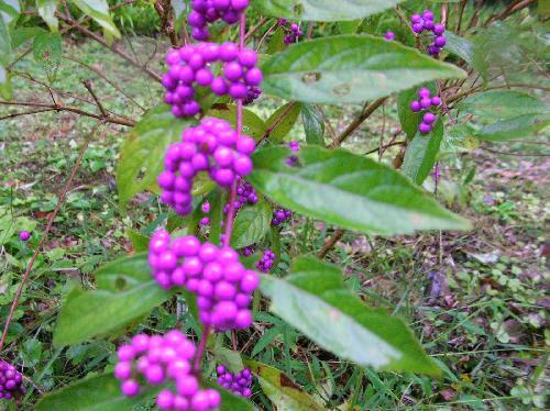 コシキブ 秋 球形の小さな紫色の実を多数つける