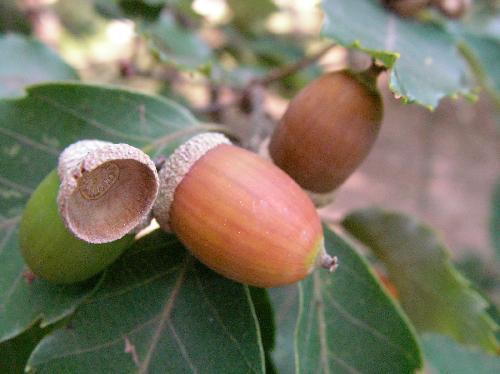 コナラ 秋 小さな寸詰まりの丸いドングリ