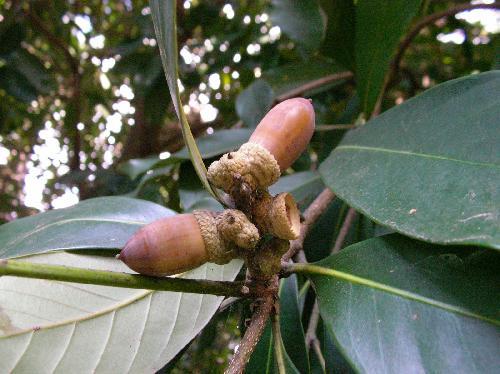 マテバシイ 秋 大きな細長いドングリ