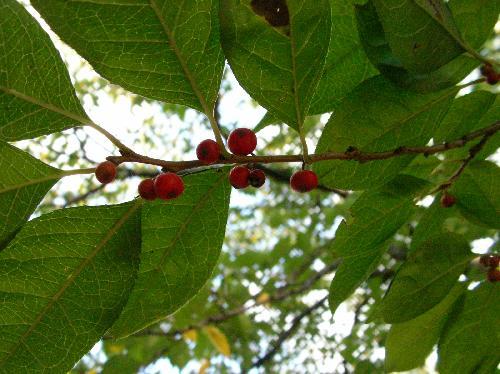 ウメモドキ 秋 小さな球形の赤い実