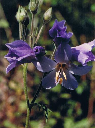 夏 青紫色の花