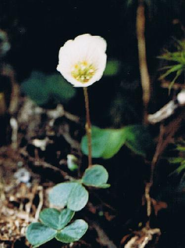 ミヤマカタバミ