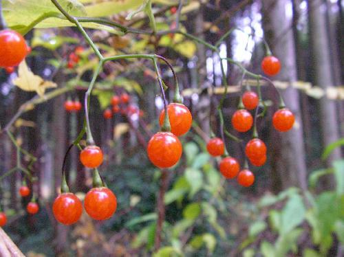 マルバノホロシ 秋 光沢のある赤色に熟す球形の実