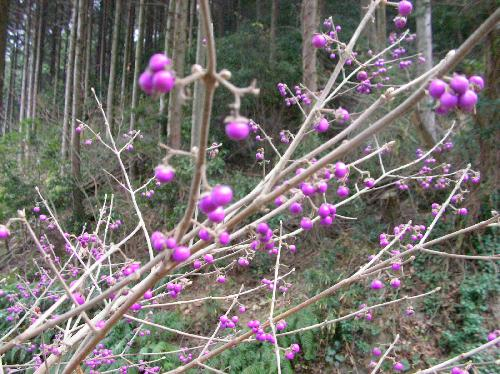 ヤブムラサキ 秋 紫色の球果
