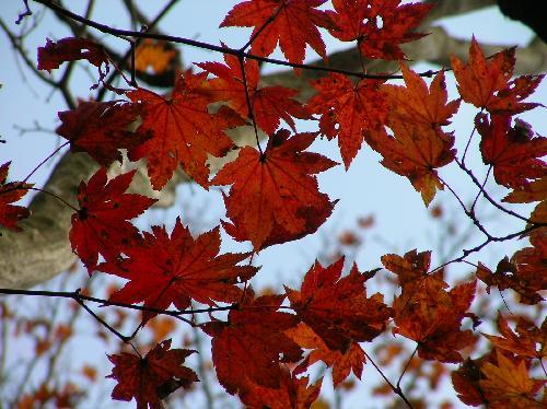 コハウチワカエデ 秋 赤く紅葉