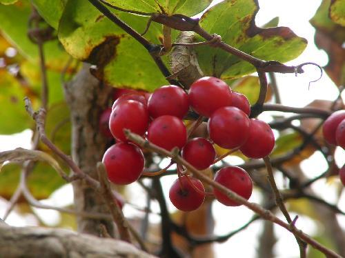 サルトリイバラ 秋 球形の赤い実