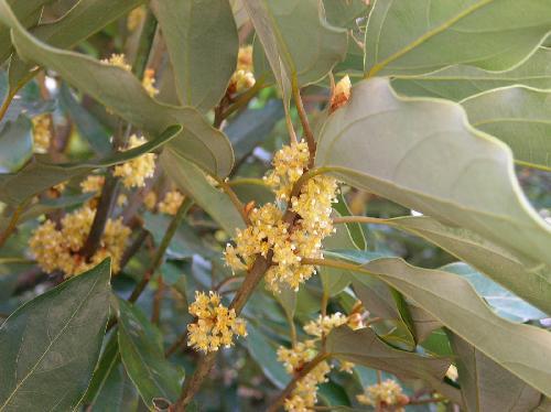 シロダモ 冬 小さな黄緑色の花