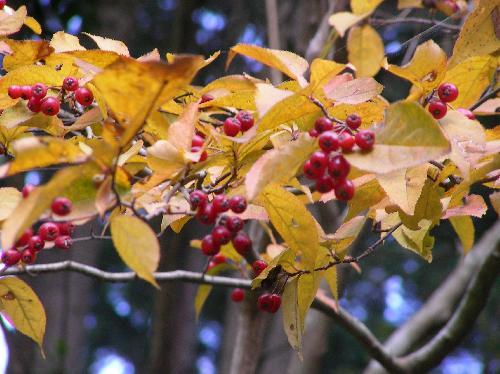 カマツカ 秋 球形の赤く熟す果実