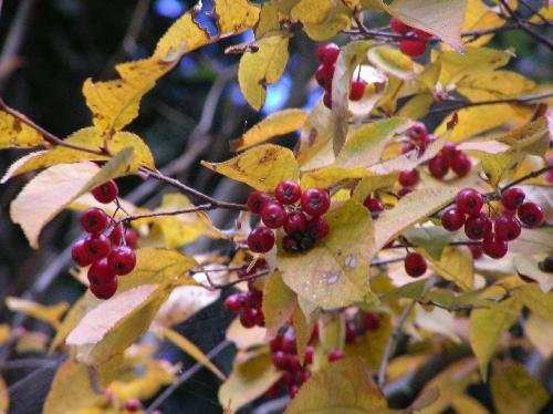 カマツカ 秋 黄色に紅葉