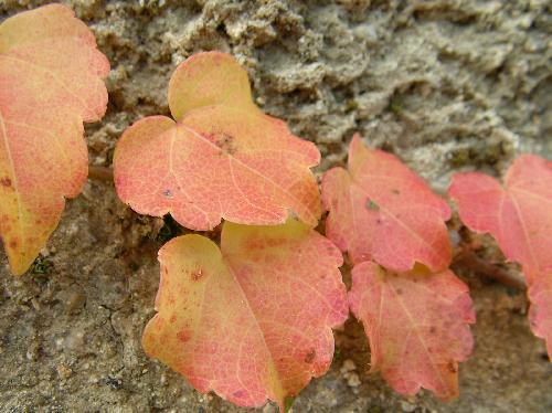 ナツヅタ 秋 赤黄橙に紅葉 卵形鋸歯互生