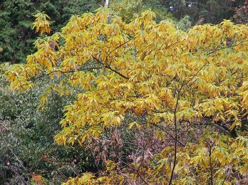 アオモジ 秋 黄色に紅葉