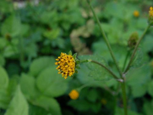コセンダングサ 秋~冬 舌状花のない黄色い花