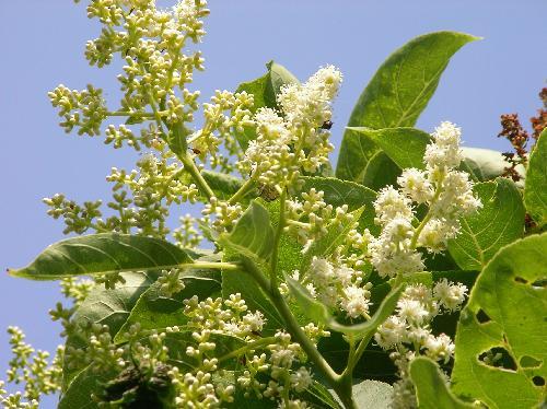 チシャノキ 初夏 極小さな白い花