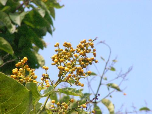 チシャノキ 実は小さな球形で晩夏に橙色に熟す