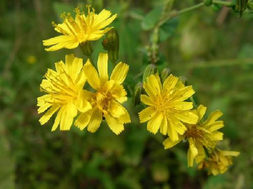 ヤクシソウ 晩夏秋初冬 小さな黄色い頭花