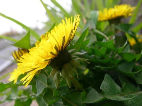 セイヨウタンポポ 春 黄色い花 総苞外弁が反り返る