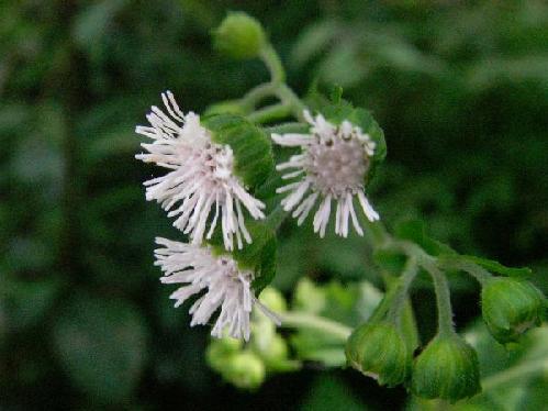 ヌマダイコン 秋~初冬 小さな白い花