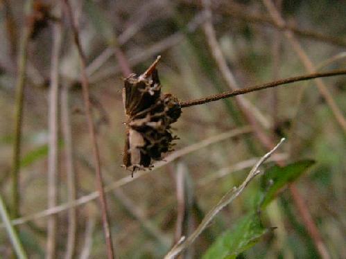 ヌマダイコン 冬 小さな茶褐色の実 ヒッツキムシ