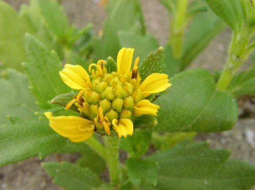 ハマグルマ 夏 黄色い花