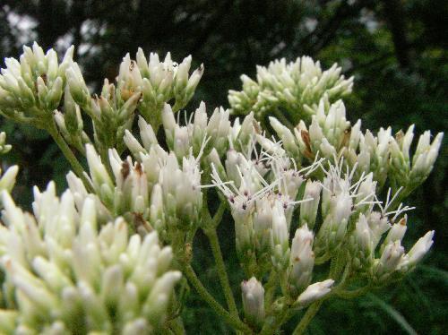 ヒヨドリバナ 夏秋 雌しべの目立つ小さな白い花