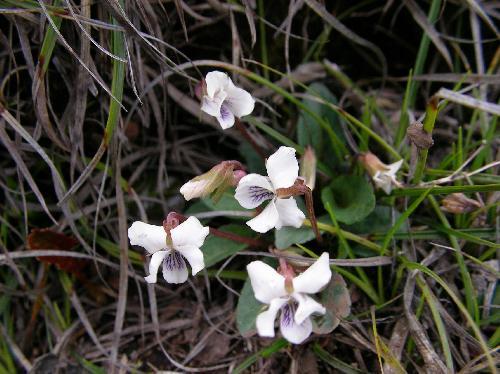 フモトスミレ 春 白い花 唇弁と側弁に紫のスジ