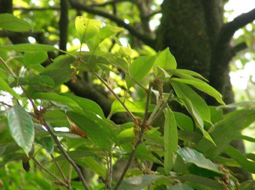アカガシ 春 黄緑色の房状の花